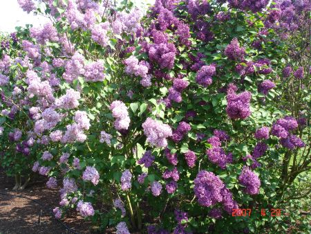 These Are Lilacs